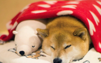 This Dog Loves To Sleep In The Same Position As His Toy-Featured