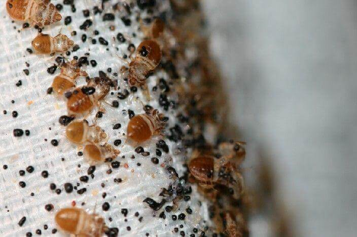 How To Get Bed Bugs Off Your Bed