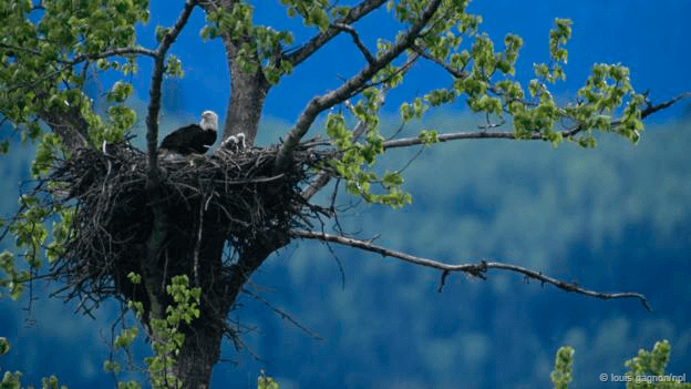 Birds nest #Bald Eagle
