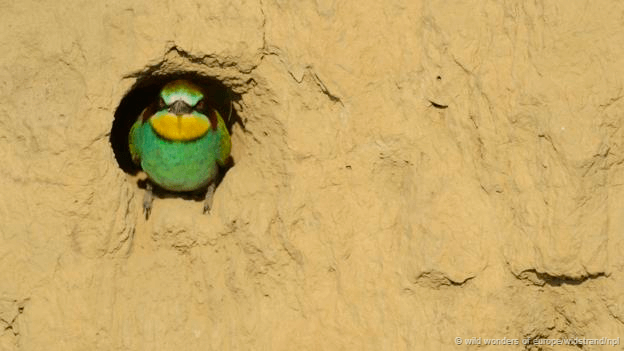 Birds nest #European Bee Eater