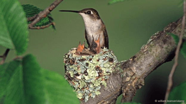 Birds nest #Ruby-throated Hummingbird