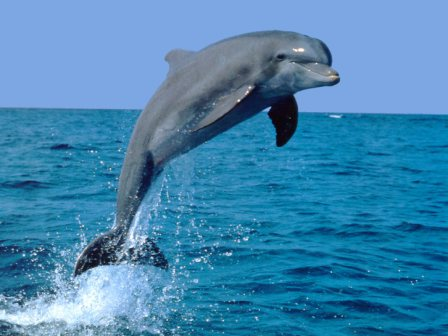 Facts-About Dolphin-15