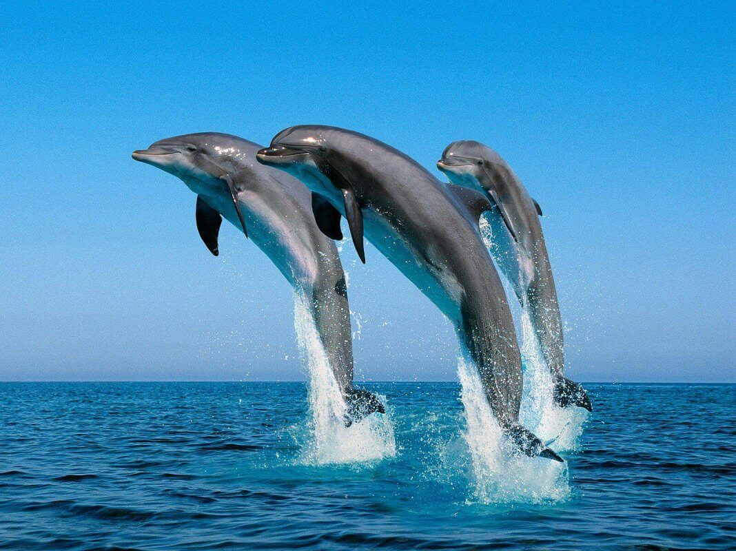 Facts-About Dolphin-8
