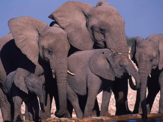 Facts about Elephants #5