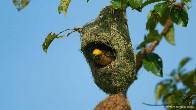 birds nest #Baya Weaver