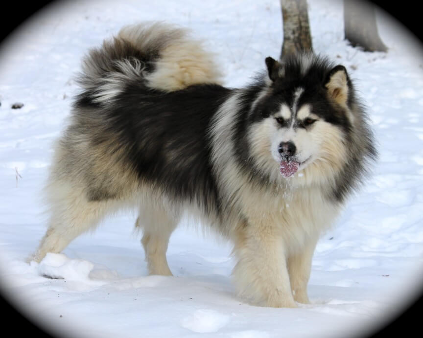 top 10 most dangerous dogs in the world-Alaskan Malamutes