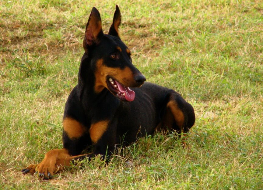 top 10 most dangerous dogs in the world-Doberman