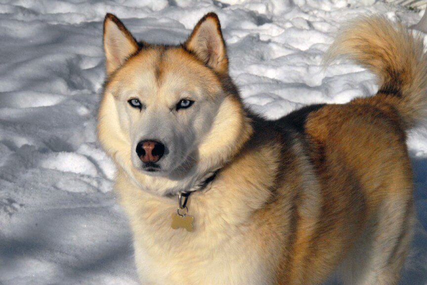 top 10 most dangerous dogs in the world-Husky