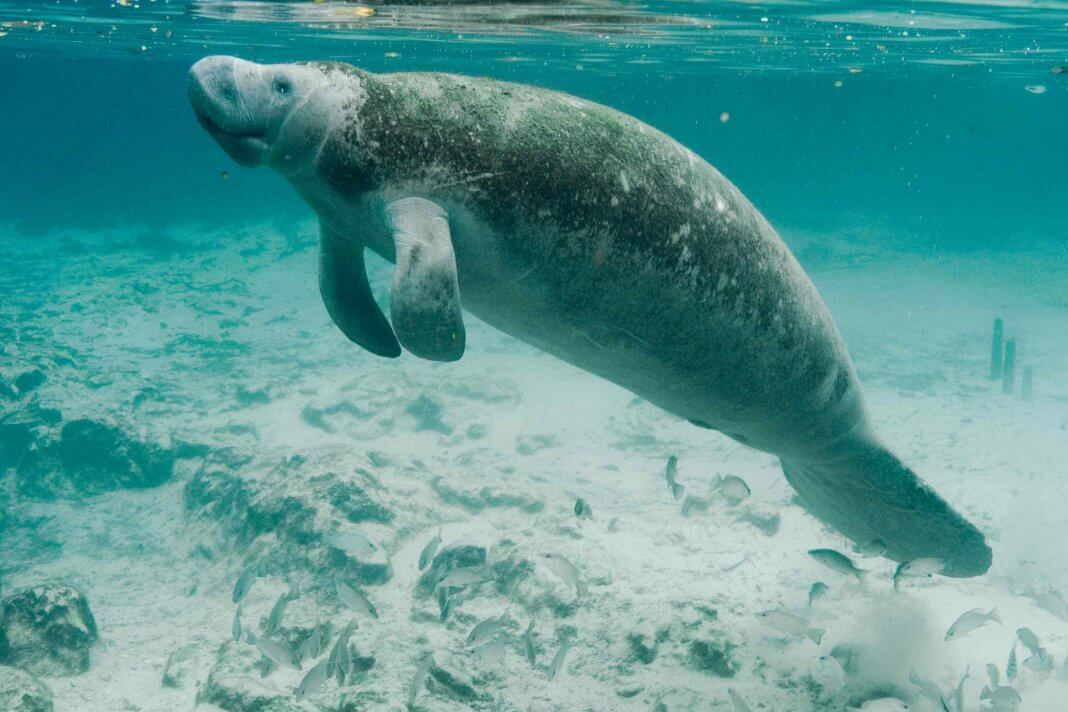 Amazon Rainforest Animals-Amazonian Manatee