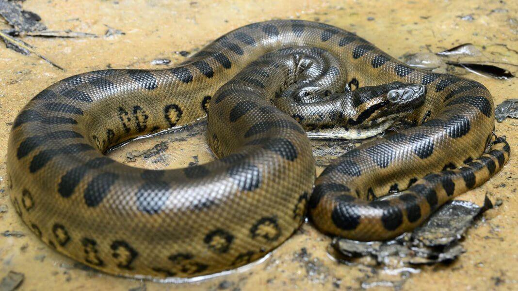Amazon Rainforest Animals-Anaconda