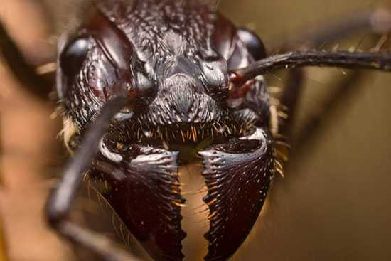 Amazon Rainforest Animals-Bullet-Ant