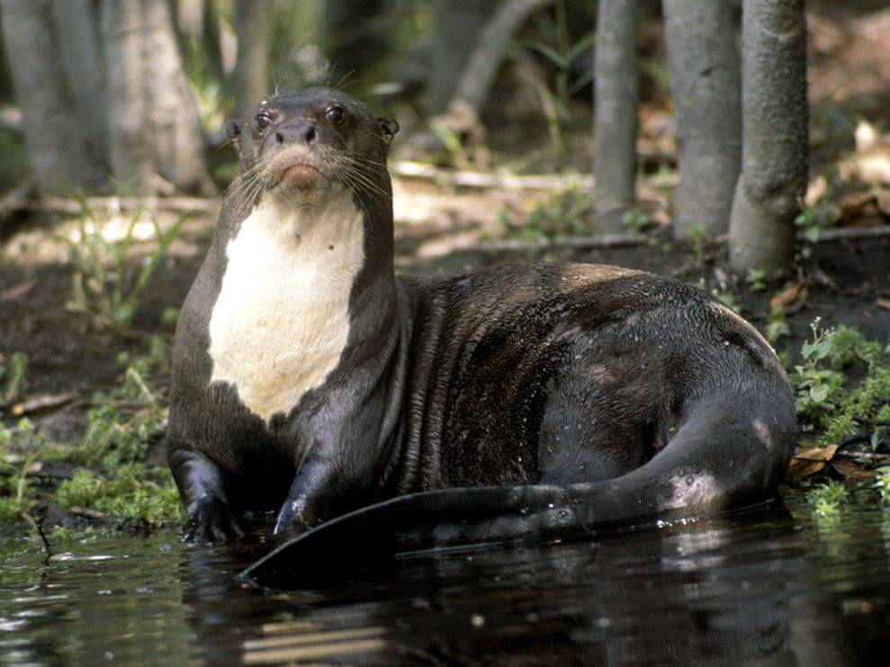 Amazon Rainforest Animals-Giant River Otter