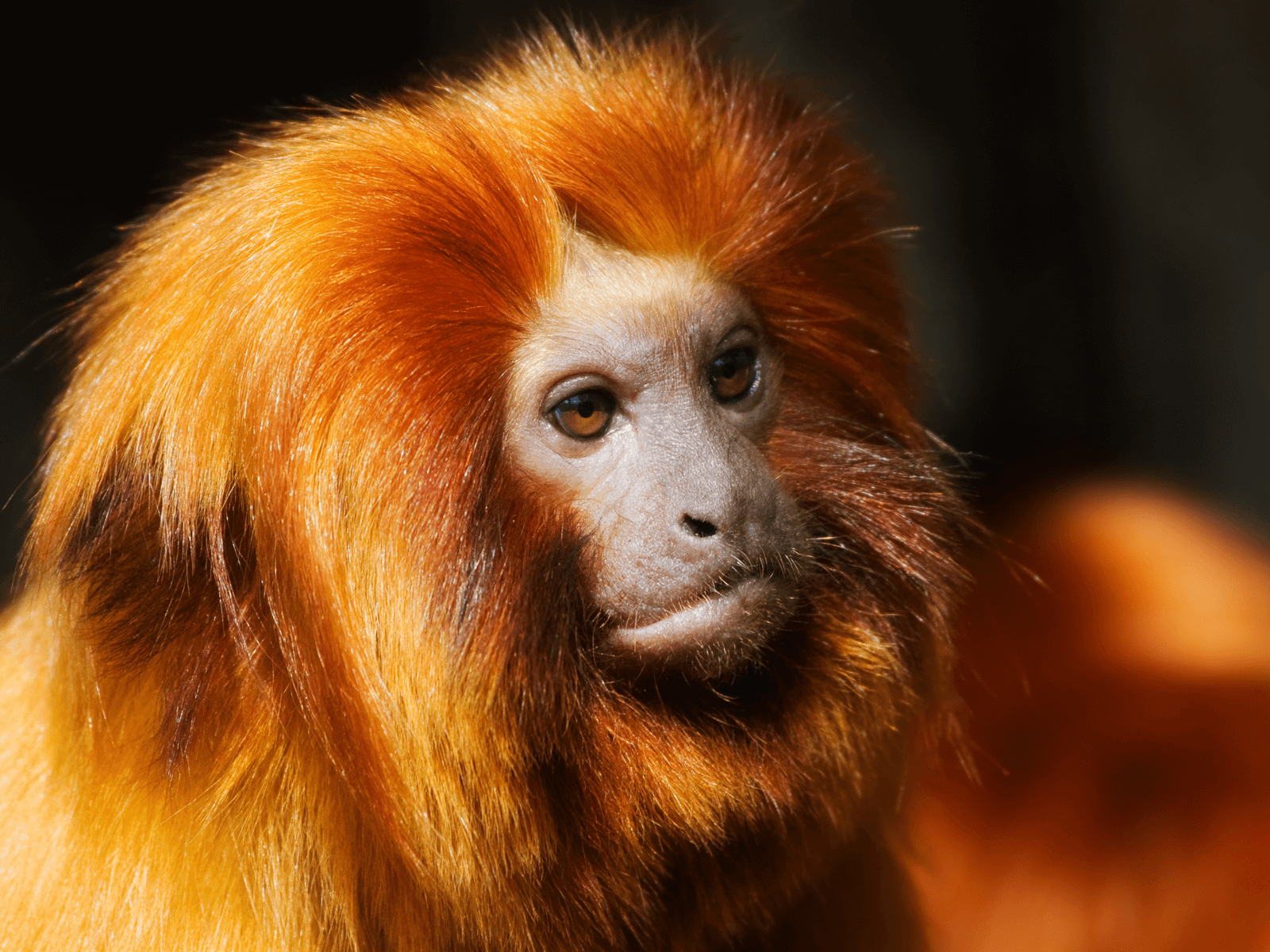 Amazon Rainforest Animals-Golden Lion Tamarin