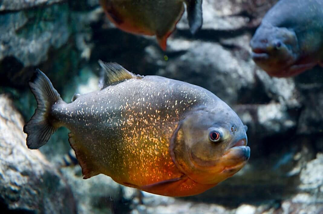 Amazon-Rainforest-Animals-Piranha