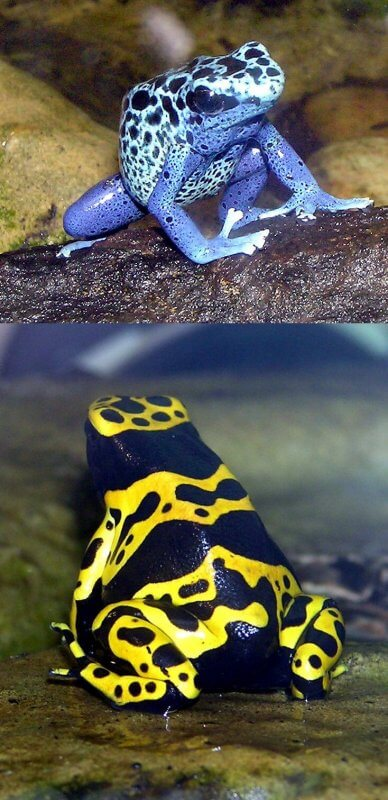 Amazon Rainforest Animals-Poison Arrow Frog
