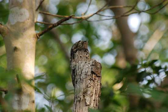Amazon Rainforest Animals-Potoo