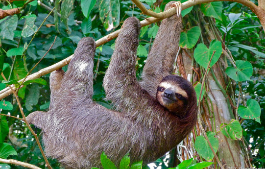Amazon Rainforest Animals-Sloth