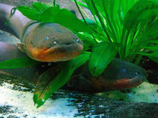 Amazon Rainforest-Electric-eel