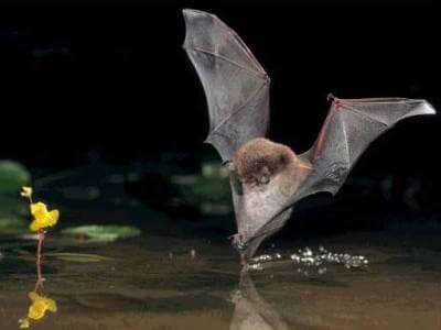 Amazon Rainforest-Fishing Bat
