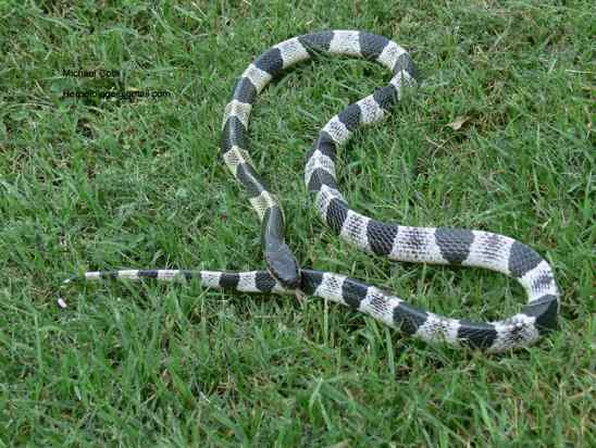 Most Poisonous Snakes in the World-Blue Krait