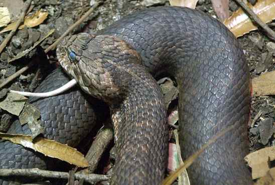 Most Poisonous Snakes in the World-Death Adder