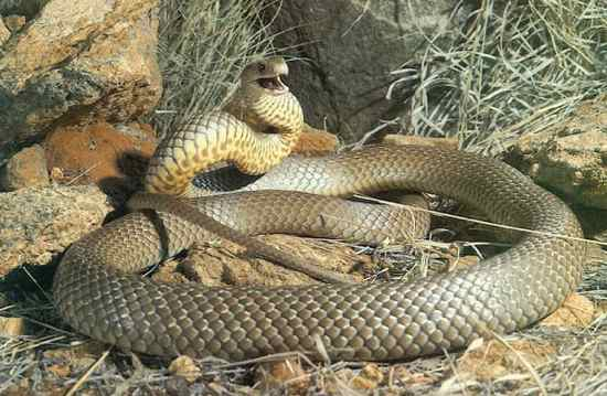 Most Poisonous Snakes in the World-Eastern Brown Snake