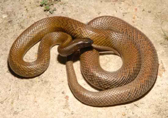 Most Poisonous Snakes in the World-Fierce Snake