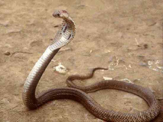 Most Poisonous Snakes in the World-Philippine Cobra