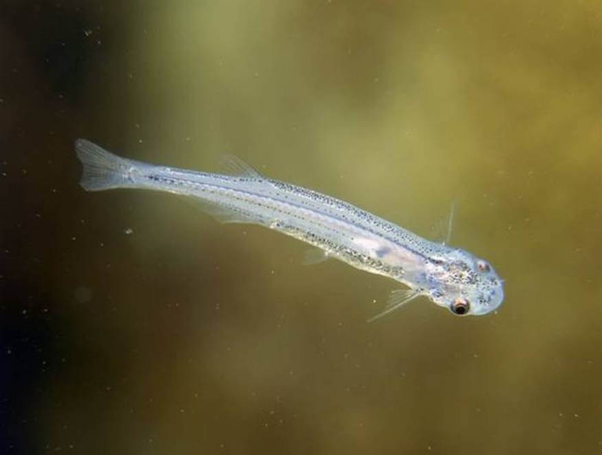 Amazon Rainforest Animals-Candiru Fish