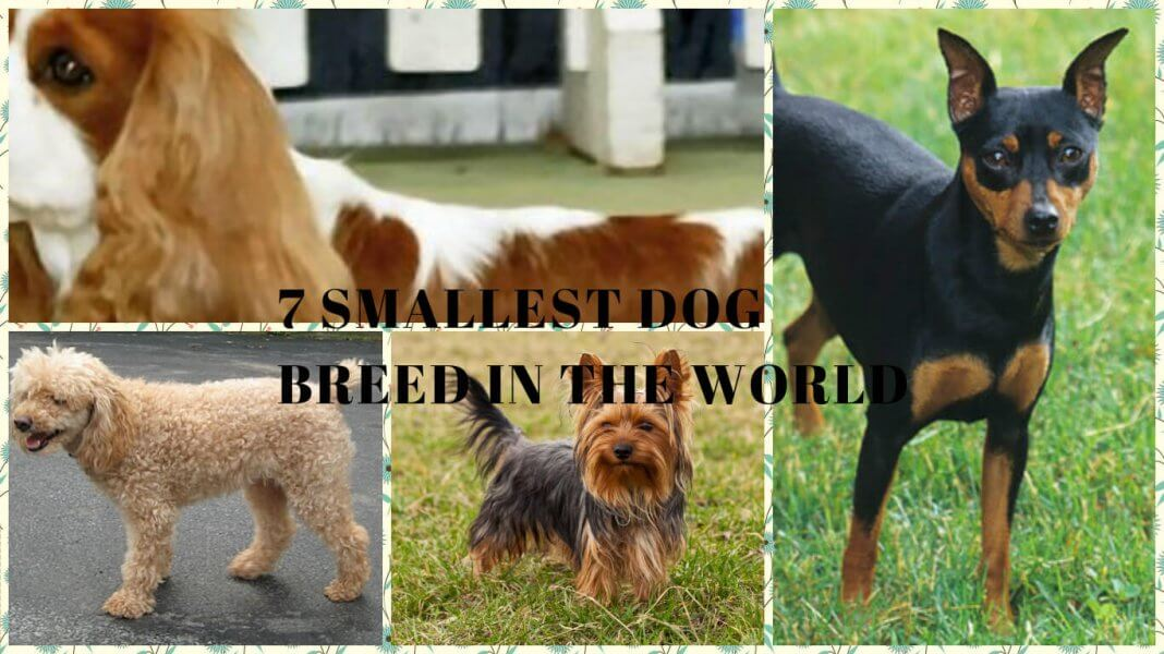 7 SMALLEST DOG BREED IN THE WORLD- Featured