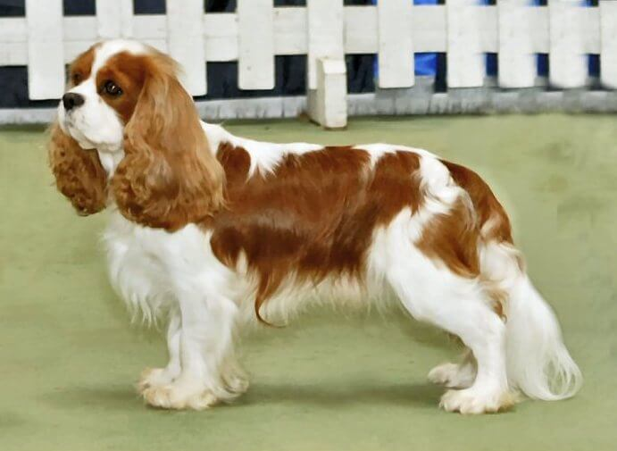 SMALLEST DOG BREED IN THE WORLD-Cavalier King Charles Spaniel