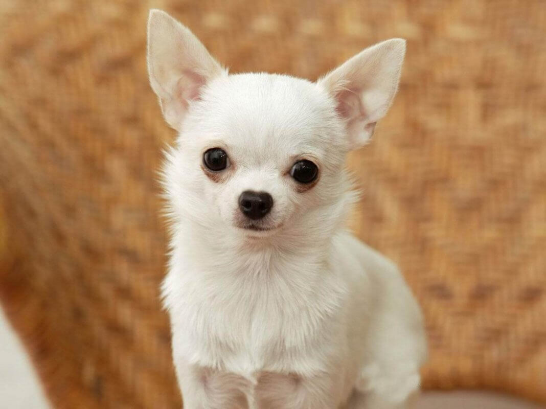 SMALLEST DOG BREED IN THE WORLD-Chihuahua