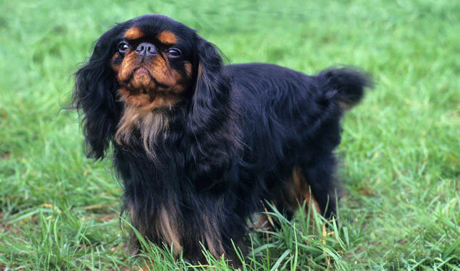 SMALLEST DOG BREED IN THE WORLD-English Toy Spaniel