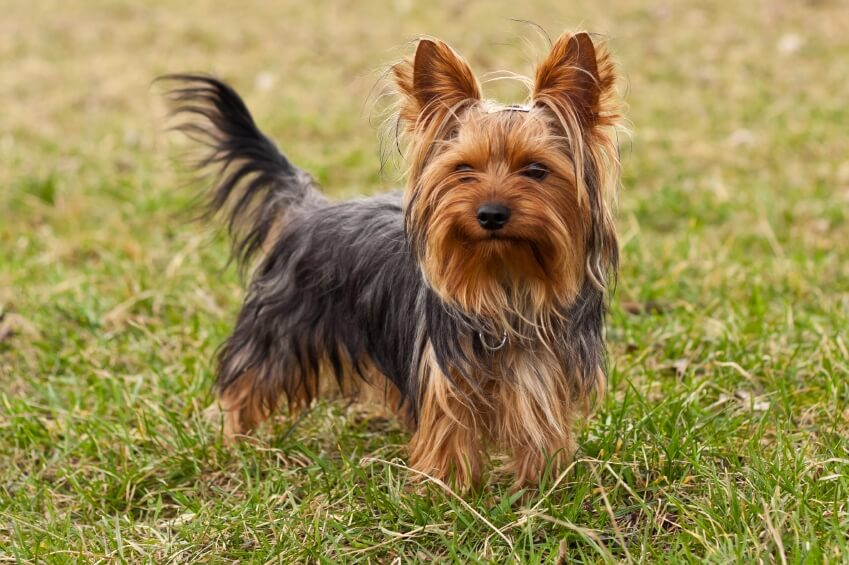 SMALLEST DOG BREED IN THE WORLD-Yorkshire terrier