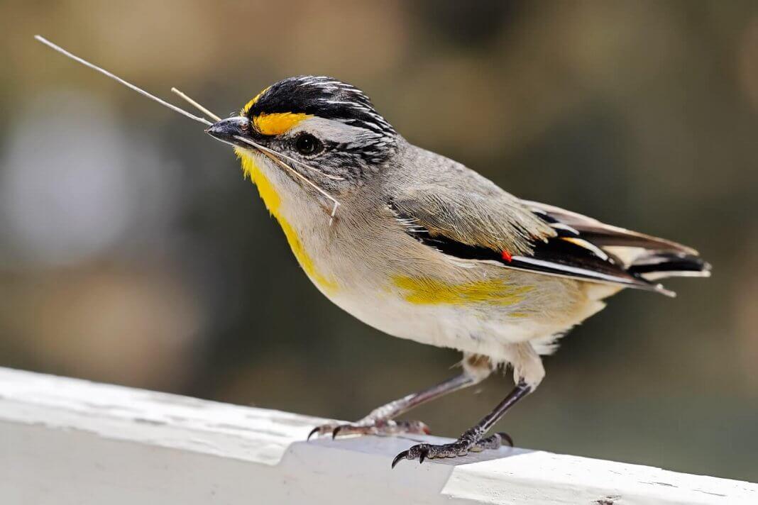 Smallest Bird In The World-Pardolates