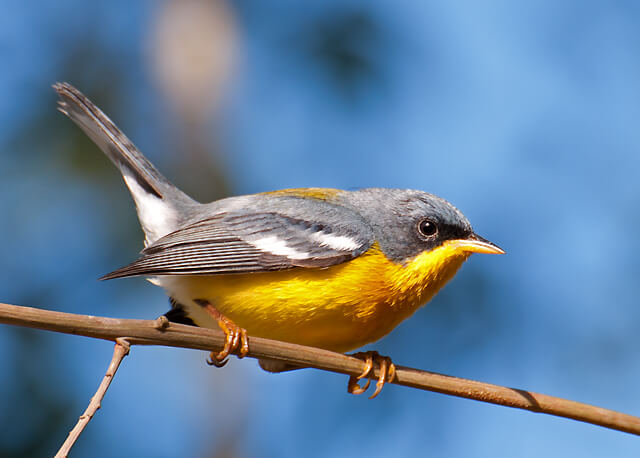 Smallest Bird In The World-Tropical Parula