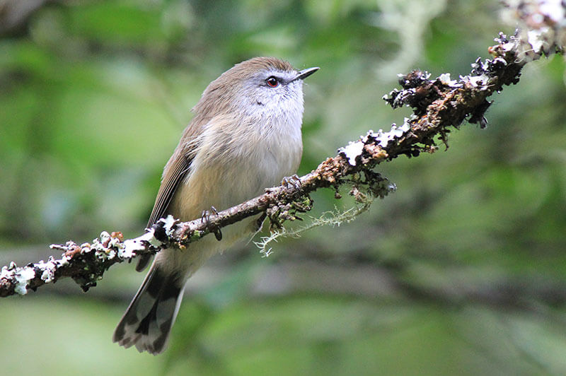 Top 10 Smallest Birds In The World-Brown Gerygone