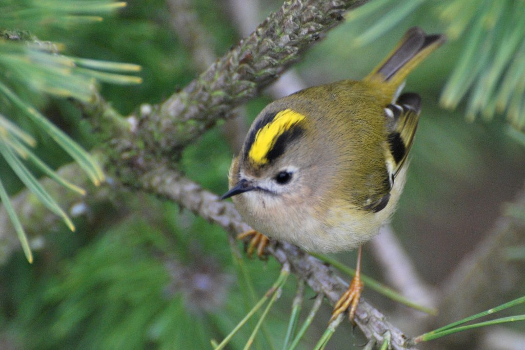 Top 10 Smallest Birds In The World-Goldcrest
