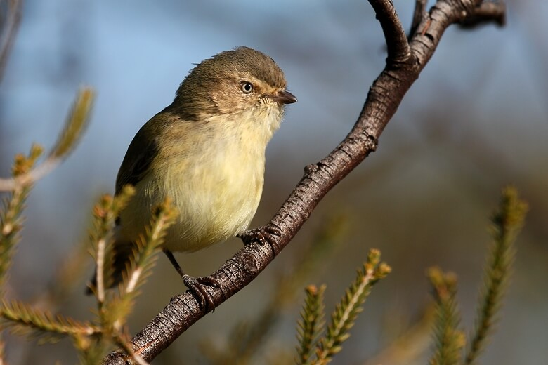 Top 10 Smallest Birds In The World-Weebill