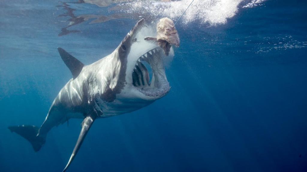 great white shark facts