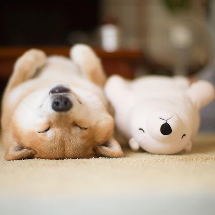 This Dog Loves To Sleep In The Same Position As His Toy-1
