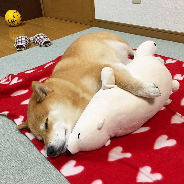 This Dog Loves To Sleep In The Same Position As His Toy-10