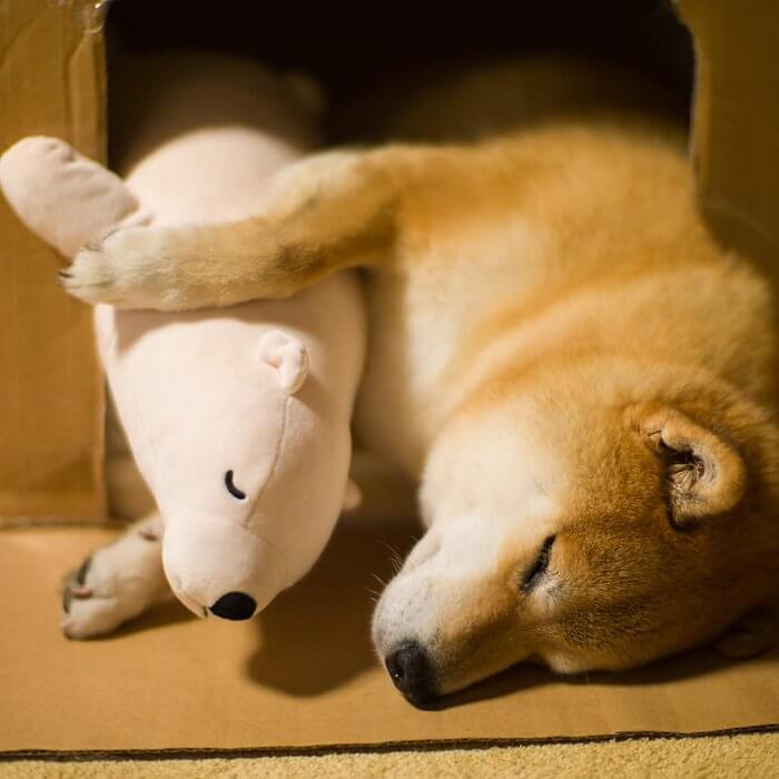 This Dog Loves To Sleep In The Same Position As His Toy-11