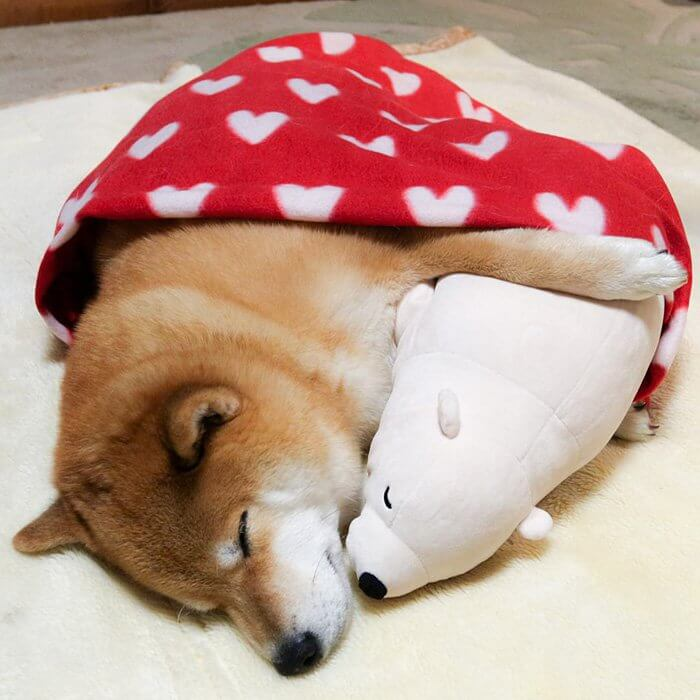 This Dog Loves To Sleep In The Same Position As His Toy-2