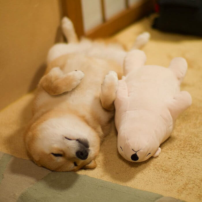 This Dog Loves To Sleep In The Same Position As His Toy-3