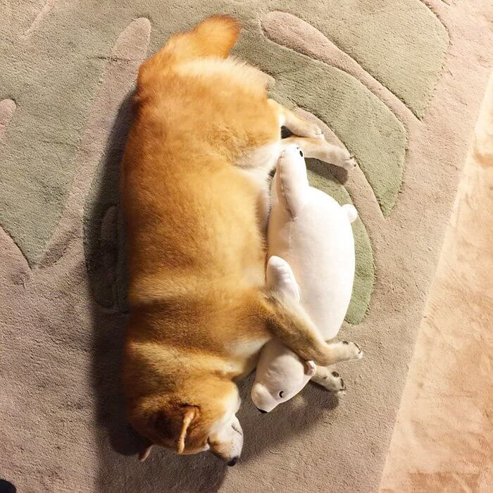 This Dog Loves To Sleep In The Same Position As His Toy-7