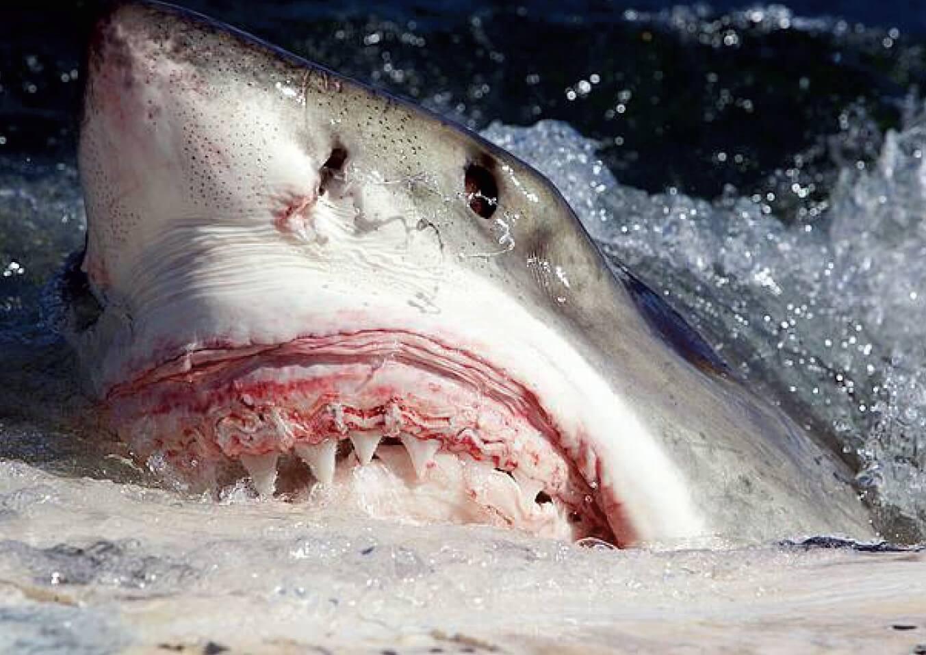 great white shark warning bite