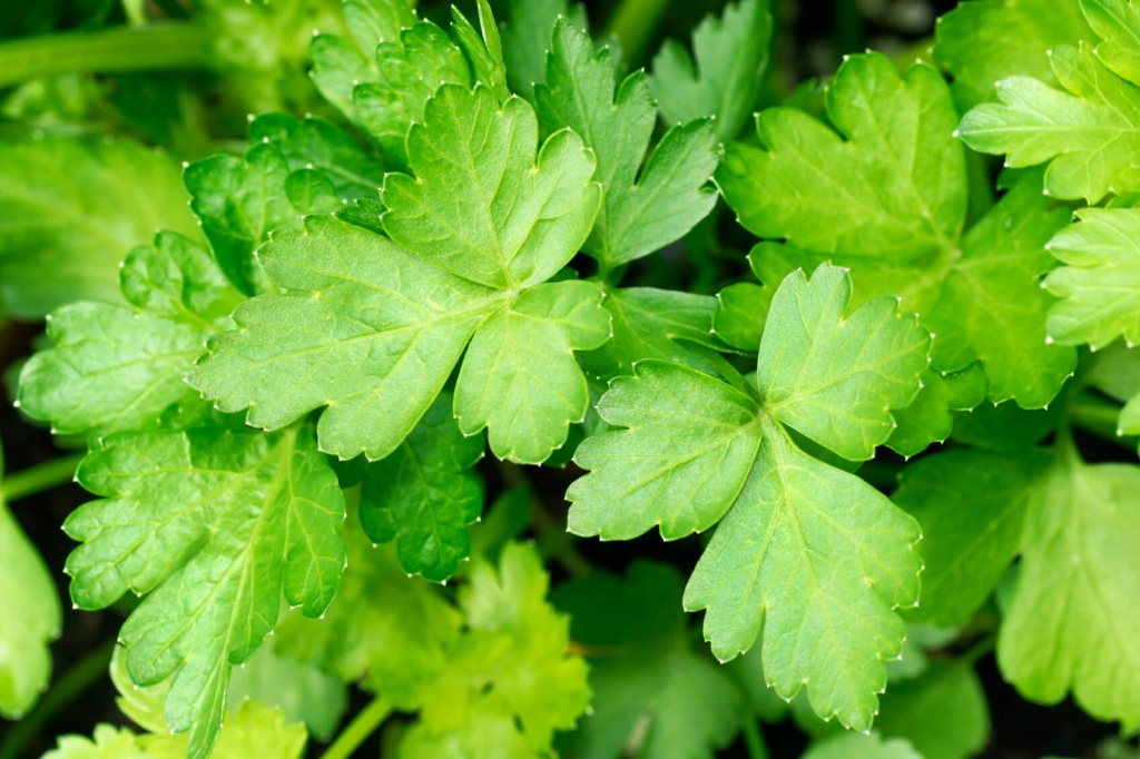 How-to-stop-your-period-for-a-day-home-remedies-parsley