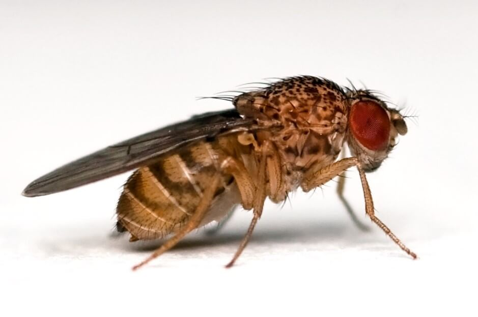 What Are Fruit Flies