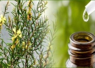 Get Rid of Lice by tea tree oil